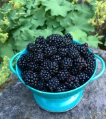 Blog Black berries